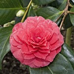 250px-Camellia.japonica.cv.Delfosse.7170