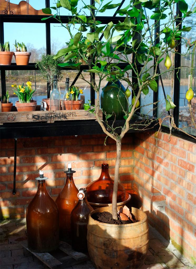 Citron träd. medelhavsväxter