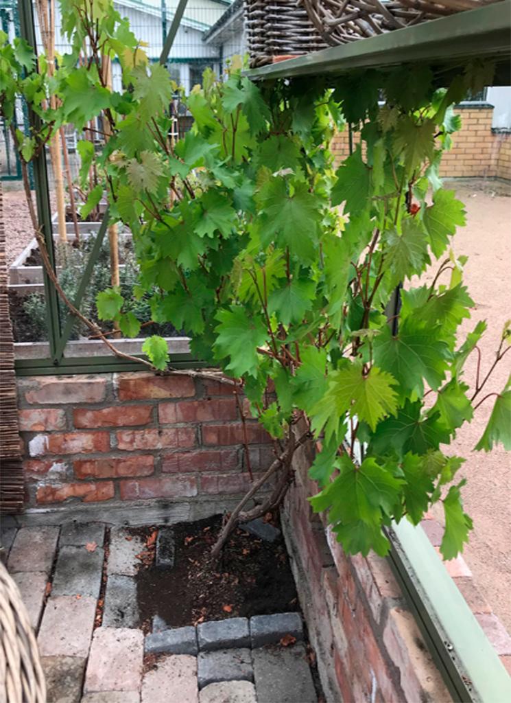 Vinranka. Växthus. medelhavs odling. odla i växthus