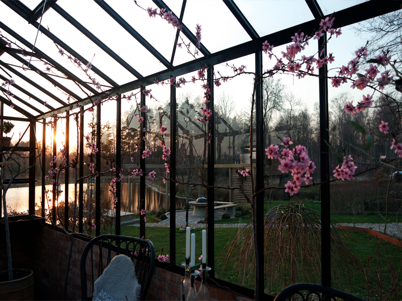 persikor. växthus. jordbädd i växthus. spaljea i växthus