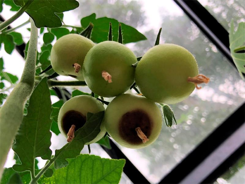 Pestillröta. odla tomater.