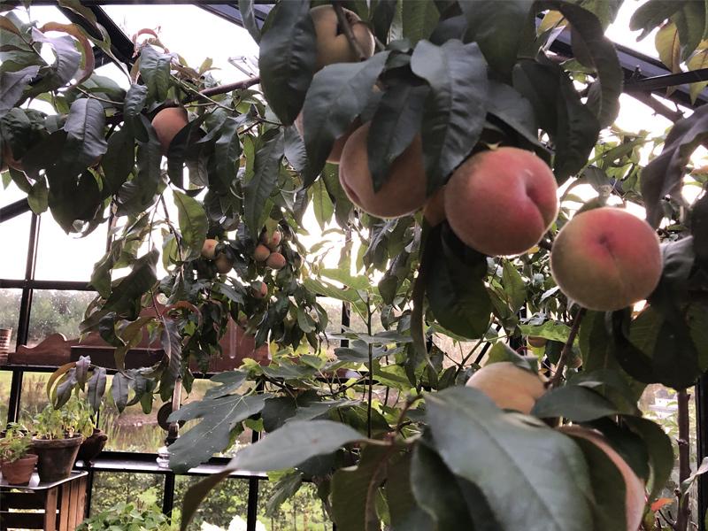 odla persika