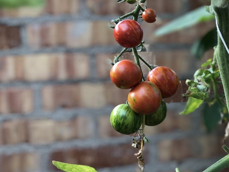 Toppa tomaterna.