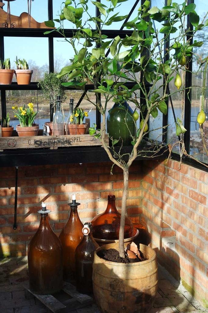 Medelhavsväxter i växthuset