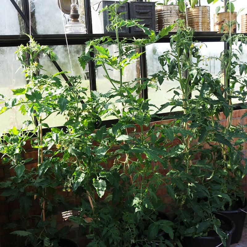 Odla tomater i hink.