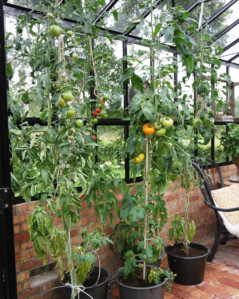 Hur lyckas man med sina tomater?